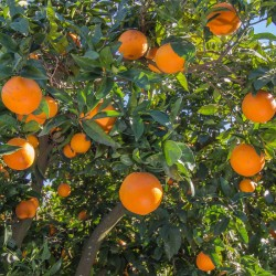 Organic oranges direct tree...